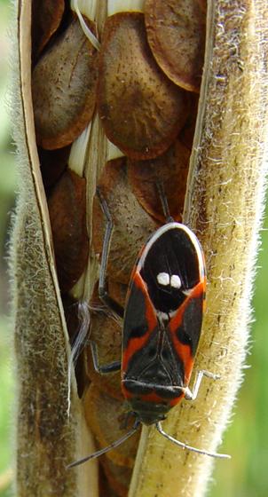 Lygaeidae, Small Milkweed Bug - Lygaeus kalmii