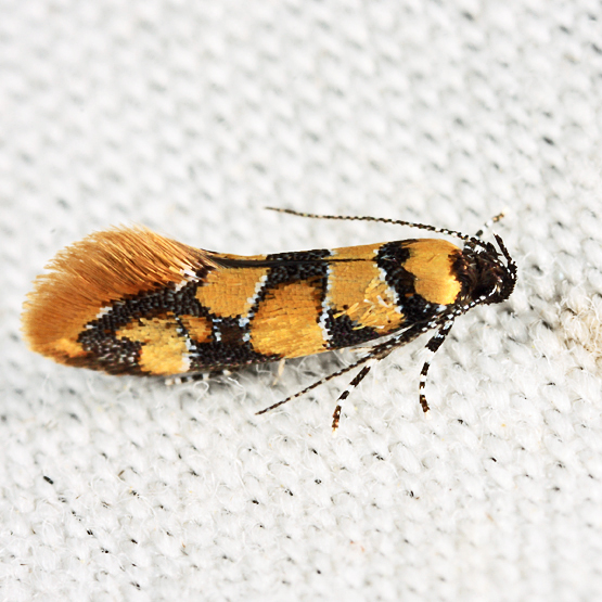 Reticulated Decantha - Decantha boreasella