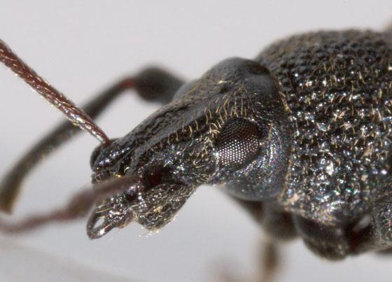 Is This Suborder Adephaga? - Otiorhynchus sulcatus