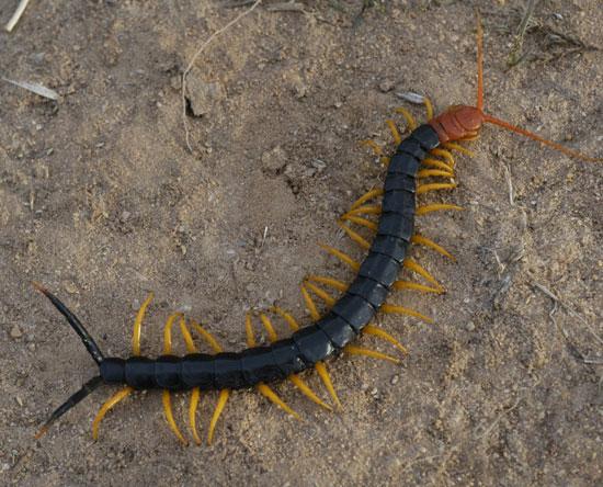 Giant Redheaded Centipede - Scolopendra heros