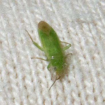 Tiny Green Plant Bug
