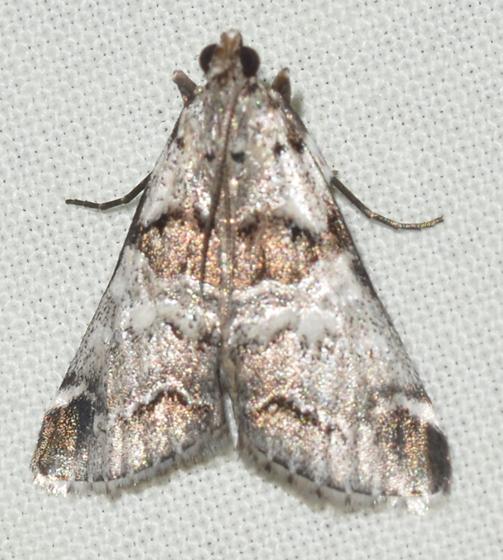 Pyralid - Tallula atrifascialis