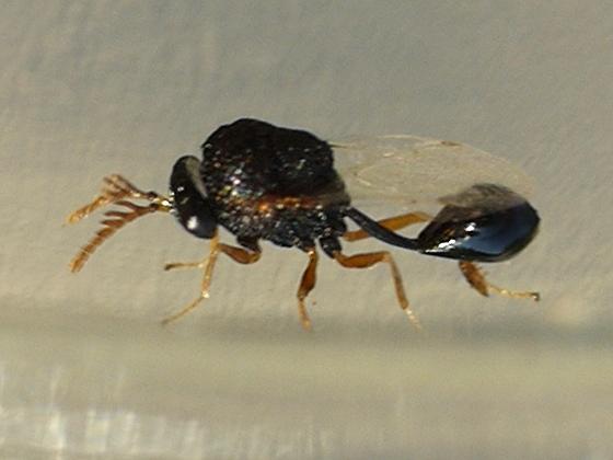 tiny wasp - Pseudochalcura gibbosa - male
