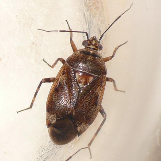 Deraeocoris sp. - Deraeocoris