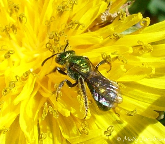 which sweat bee? - Augochlorella aurata