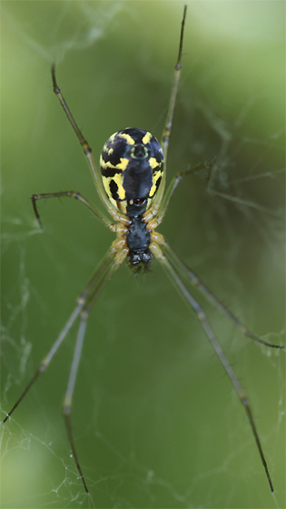 Lady Linyphiid (Neriene radiata?) - Neriene radiata - female