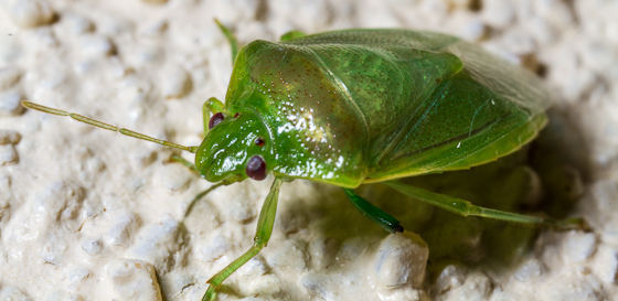 Green Pentatomoidea - Banasa lenticularis