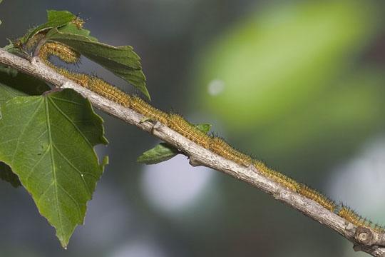 4th instar - Automeris io