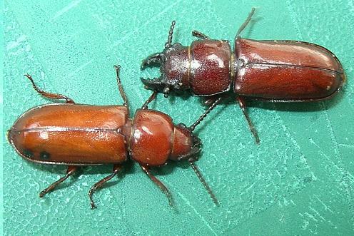 Beetles - Neandra brunnea