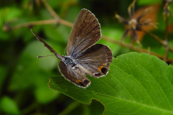 Miami Blue - Cyclargus thomasi - female