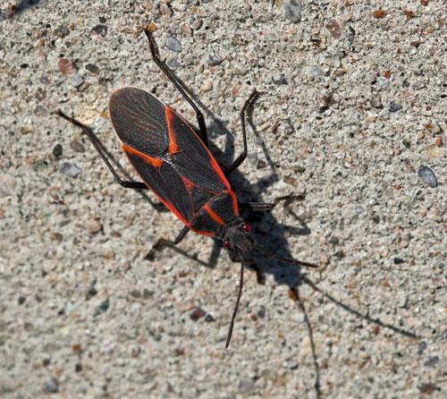 Milkweed Bug or Not? - Boisea trivittata