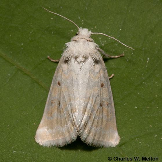 Moth - Lythrodes tripuncta