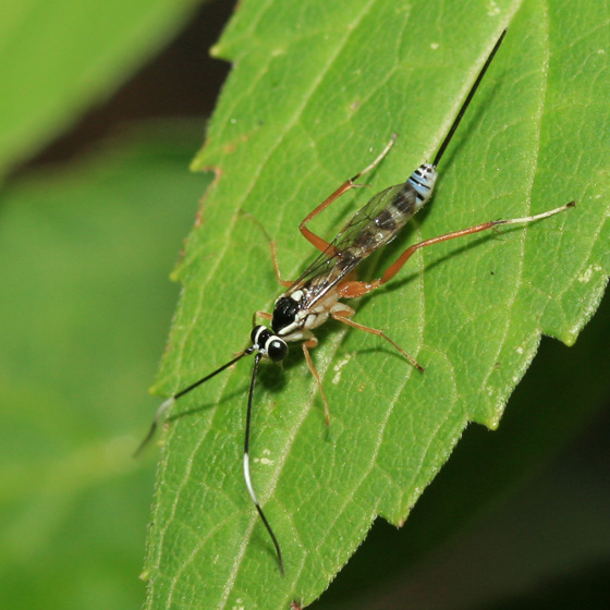 Wasp - Sphelodon phoxopteridis - female