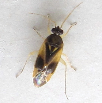 Mirid with pale triangles in scutellum - Plagiognathus maculipennis