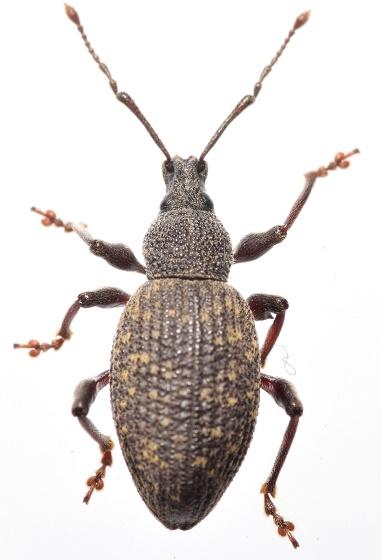 Otioryhncus sulcata  - Otiorhynchus sulcatus