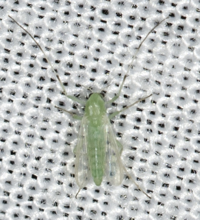 Diptera - Parachironomus - female