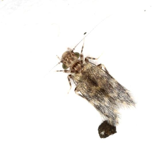 Echmepteryx hageni - female