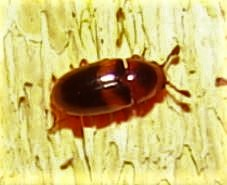 Small Fungus (?) Beetle - Dacne picta