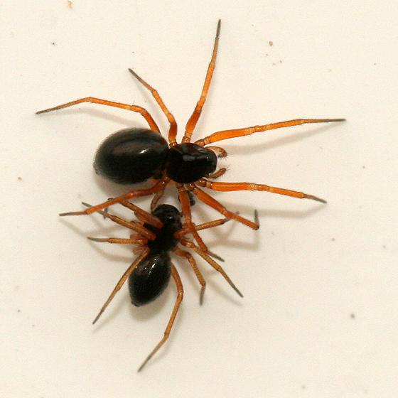 Tiny Black Spiders - Entelecara acuminata - male - female