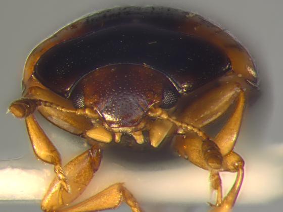 Erotylidae, head - Tritoma humeralis
