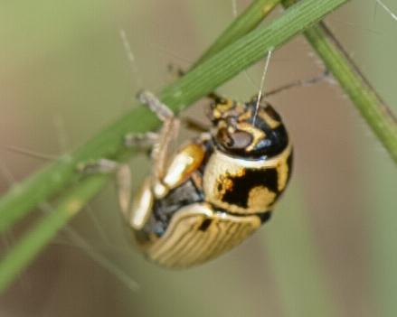 Beetle - Pachybrachis