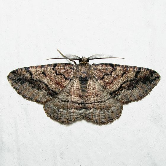 south TX - Pterospoda nigrescens - male