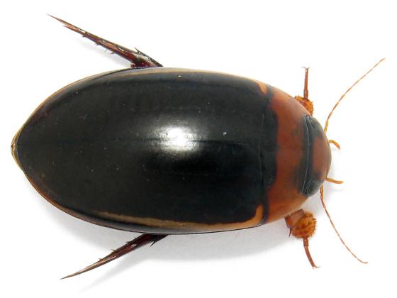 Prodaticus bimarginatus