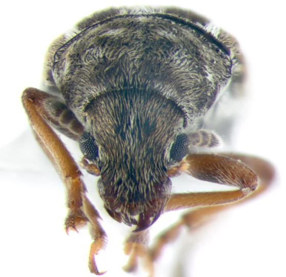Anthribidae, frontal - Trigonorhinus sticticus