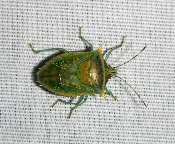 Arvelius albopunctatus