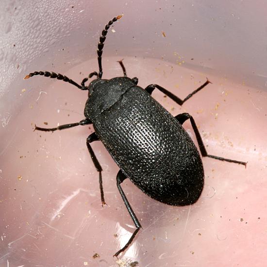 Darkling Beetle? - Penthe pimelia