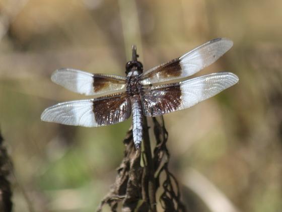 Widow Skimmer Libellula luctuosa - Libellula luctuosa