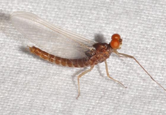 Mayfly - Ephemerella
