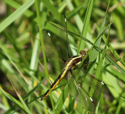 dragon fly with white tipped wings and yellow stripes - Libellula cyanea - male