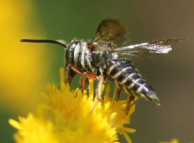 black and silver bee with tapered abdomen and red legs - Coelioxys