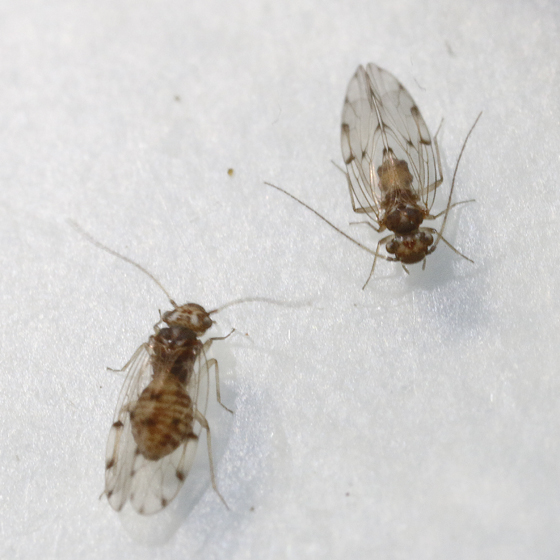 Ectopsocus species? - Ectopsocus californicus