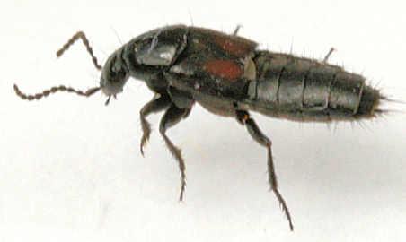 Staphylinidae -? - Philonthus cruentatus