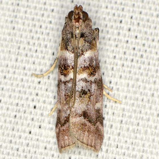 Dioryctria pygmaeella 5849? - Dioryctria pygmaeella