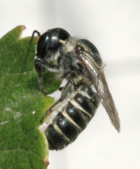 Leafcutter Bee (Megachile) - can it be IDed to species? - Megachile - female