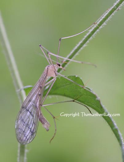 Crane Fly - Bittacus strigosus - male