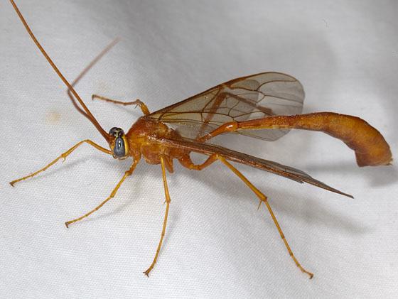 Wasp IMG_1573 - Enicospilus - female