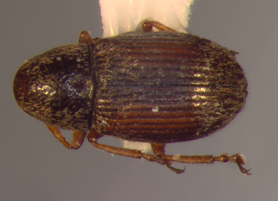 Anthribidae, dorsal - Trigonorhinus