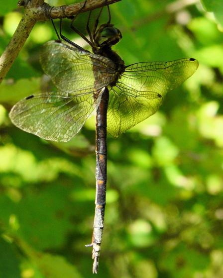 Emerald? - Somatochlora linearis - female