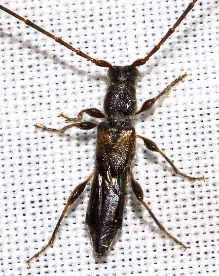 Molorchus bimaculatus Say - Molorchus bimaculatus