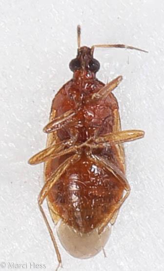 Amphiareus obscuriceps