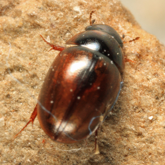 Water Scavenger Beetle - Anacaena limbata - female