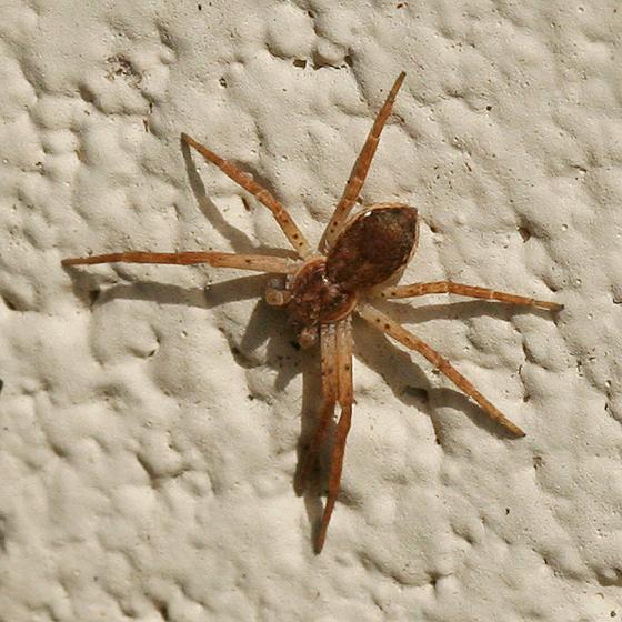 Crab Spider with spotted legs - Philodromus dispar