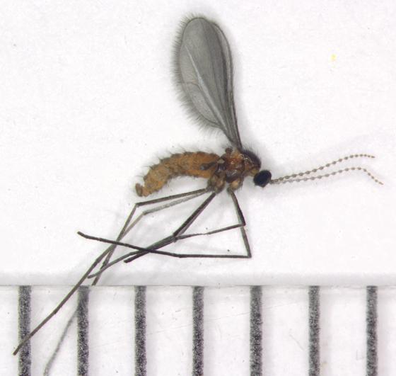 Rhopalomyia anthophila  - Rhopalomyia anthophila - male