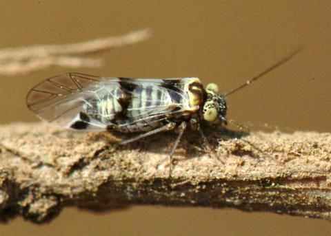 Small bug - Indiopsocus