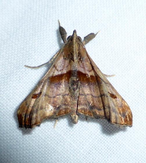 8397     Dark-spotted palthis   (Palthis angulalis) - Palthis angulalis