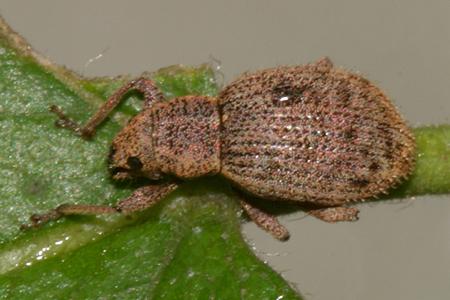 Snout Beetle - Sciaphilus asperatus